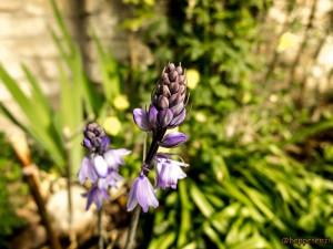 Fiore (credo un glicine)