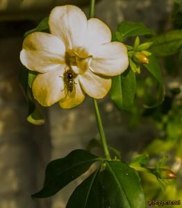 Fiore e miniape